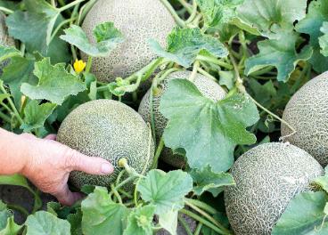 Carrefour apuesta por el melón nacional
