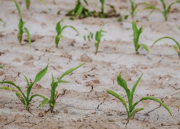 Desertización de cultivos