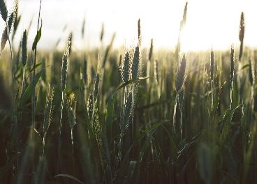 Europastry apuesta por el trigo sostenible