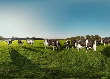 Vacas de FrieslandCampina