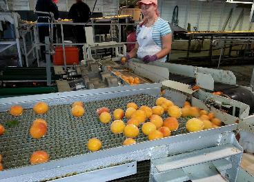 Trabajadora en una fábrica de naranjas