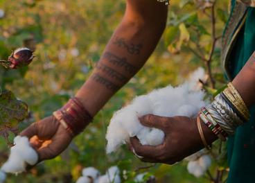 Recogida de algodón